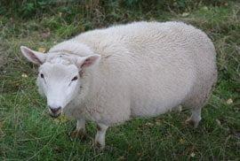 Sheep at Ludlow